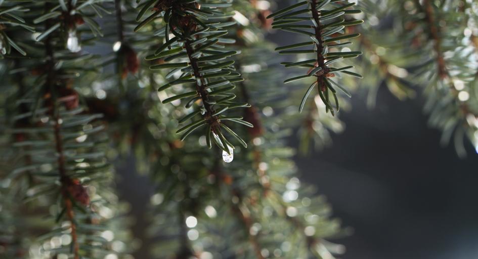 mänty, hetkinenkosmetiikka, luonnonkosmetiikka, metsä, pine, kuusi, spruce